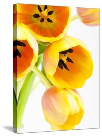 Yellow and orange tulips-Frank Lukasseck-Stretched Canvas Print