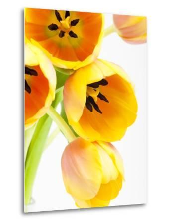 Yellow and orange tulips-Frank Lukasseck-Metal Print