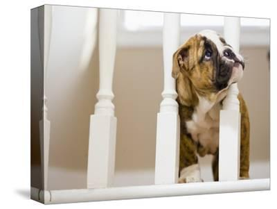 Bulldog puppy with head between balusters-Jim Craigmyle-Stretched Canvas Print