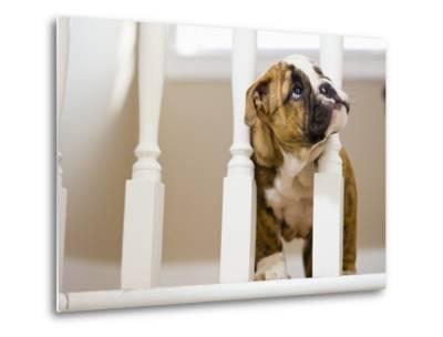 Bulldog puppy with head between balusters-Jim Craigmyle-Metal Print