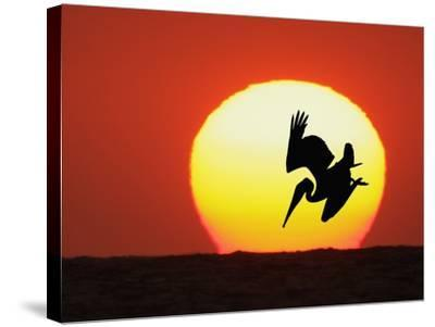 Brown Pelican Diving in Front of Setting Sun-Arthur Morris-Stretched Canvas Print