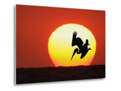 Brown Pelican Diving in Front of Setting Sun-Arthur Morris-Metal Print