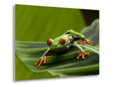 Tree Frog in Costa Rica-Paul Souders-Metal Print
