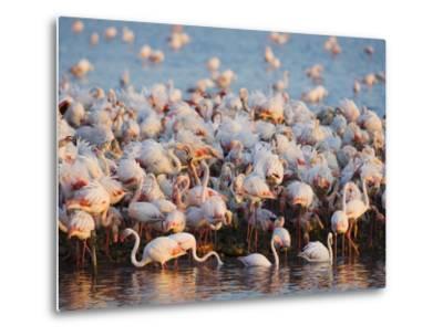 Greater flamingo colony in lagoon-Theo Allofs-Metal Print