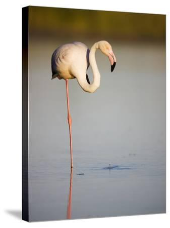 Greater flamingo in lagoon-Theo Allofs-Stretched Canvas Print