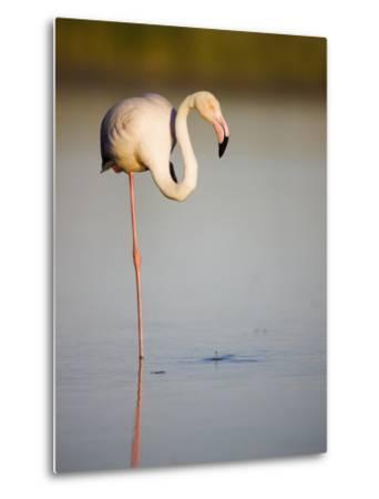 Greater flamingo in lagoon-Theo Allofs-Metal Print