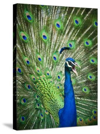 Screaming peacock-Grafton Smith-Stretched Canvas Print