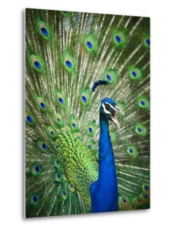 Screaming peacock-Grafton Smith-Metal Print