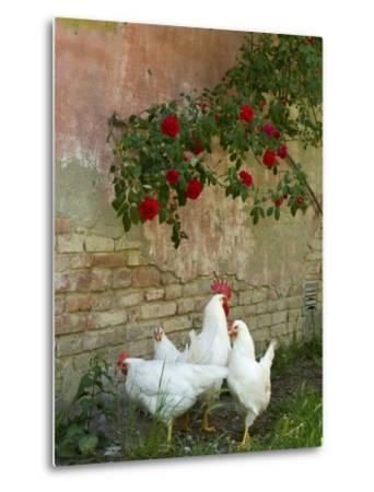 White chickens beneath roses-Mark Bolton-Metal Print