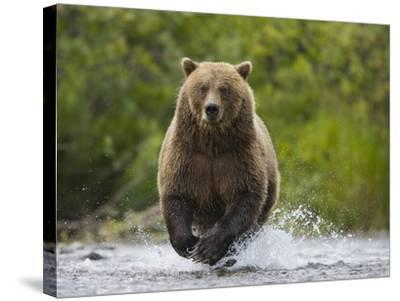 Brown bear running to catch salmon in a river-Theo Allofs-Stretched Canvas Print