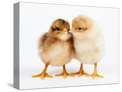 Day-old chicks-Frank Lukasseck-Stretched Canvas Print