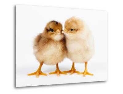 Day-old chicks-Frank Lukasseck-Metal Print