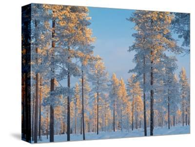 Snow-covered forest-Bruno Ehrs-Stretched Canvas Print