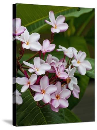 Pink frangipani in bloom-Bob Krist-Stretched Canvas Print