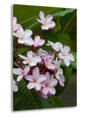 Pink frangipani in bloom-Bob Krist-Metal Print