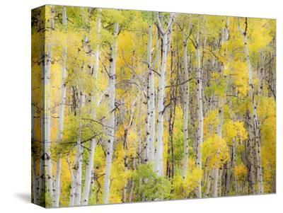 Stand of Aspens in autumn-Frank Lukasseck-Stretched Canvas Print