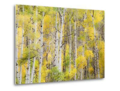 Stand of Aspens in autumn-Frank Lukasseck-Metal Print