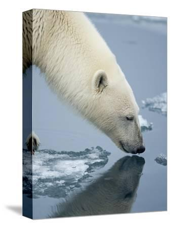 Polar Bear sniffing water-Paul Souders-Stretched Canvas Print