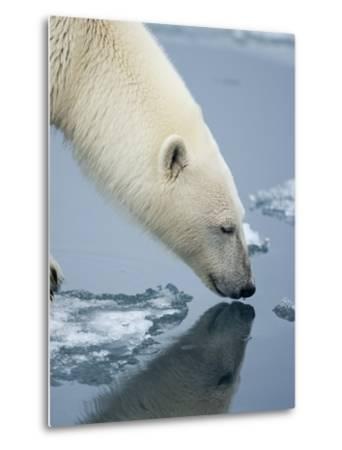 Polar Bear sniffing water-Paul Souders-Metal Print