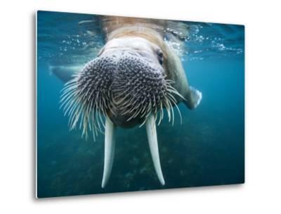 Adult Male Walrus, Lagoya, Svalbard, Norway-Paul Souders-Metal Print