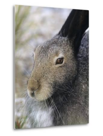 Artic Hare (lepus Articus) in Summer, Churchill Manitoba, Canada-Don Johnston-Metal Print