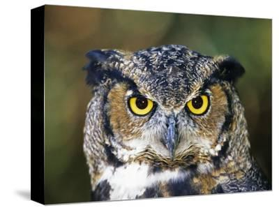 Great Horned Owl (Bubo Virginianus) Portrait, Canada-Ethan Meleg-Stretched Canvas Print
