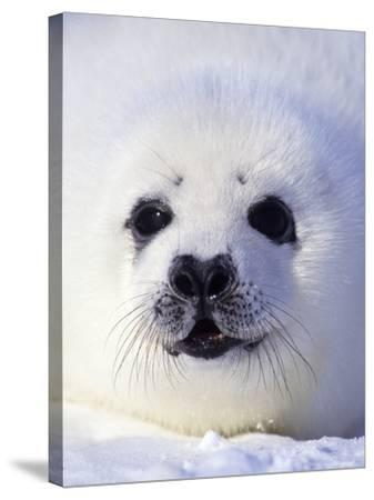 Week-old Harp Seal (Phoca Groenlandica) Pup (whitecoat), Gulf of the St. Lawrence River, Canada.-Wayne Lynch-Stretched Canvas Print