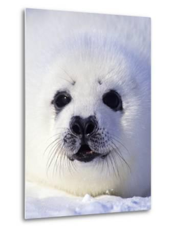 Week-old Harp Seal (Phoca Groenlandica) Pup (whitecoat), Gulf of the St. Lawrence River, Canada.-Wayne Lynch-Metal Print