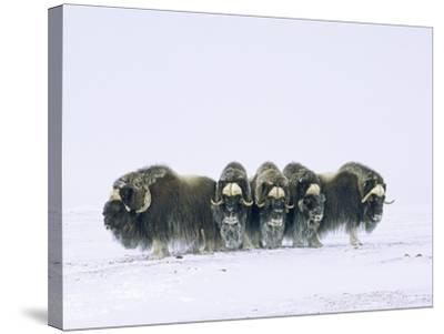 Adult Bull Muskoxen (Ovibos Moschatus) in Defensive Line. Banks Island, Northwest Territories, Arct-Wayne Lynch-Stretched Canvas Print