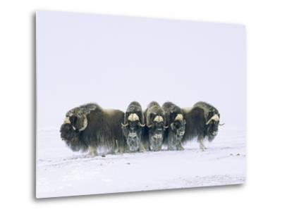 Adult Bull Muskoxen (Ovibos Moschatus) in Defensive Line. Banks Island, Northwest Territories, Arct-Wayne Lynch-Metal Print