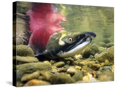 Sockeye Salmon, Adams River, Shuswap, British Columbia, Canada-Wayne Lynch-Stretched Canvas Print