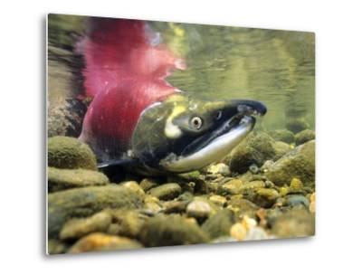 Sockeye Salmon, Adams River, Shuswap, British Columbia, Canada-Wayne Lynch-Metal Print
