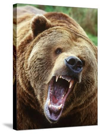 Coastal Grizzly Bear (Ursus Horribilus), Full Face Snarling, British Columbia, Canada.-Chris Cheadle-Stretched Canvas Print