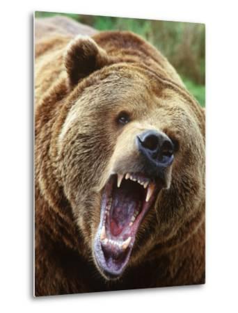 Coastal Grizzly Bear (Ursus Horribilus), Full Face Snarling, British Columbia, Canada.-Chris Cheadle-Metal Print