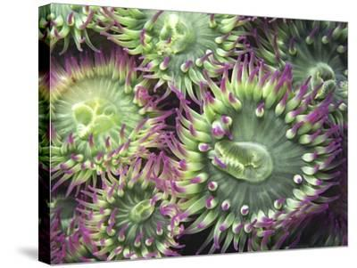 Pink-tipped Surf Anemones, Dodd Narrows, Southern Gulf Islands, Vancouver Island, British Columbia,-Carole Valkenier-Stretched Canvas Print