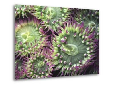 Pink-tipped Surf Anemones, Dodd Narrows, Southern Gulf Islands, Vancouver Island, British Columbia,-Carole Valkenier-Metal Print
