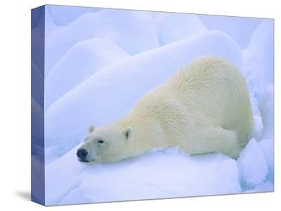 Adult Polar Bear (Ursus Maritimus) Cleaning Its Fur on the Snow. Svalbard, Arctic Norway.-Wayne Lynch-Stretched Canvas Print