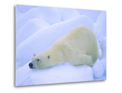 Adult Polar Bear (Ursus Maritimus) Cleaning Its Fur on the Snow. Svalbard, Arctic Norway.-Wayne Lynch-Metal Print