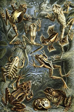 Illustration of Batrachia by Ernst Haeckel--Stretched Canvas Print