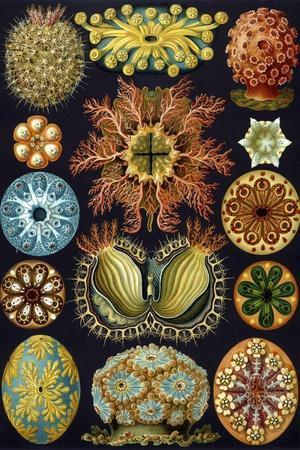 Illustration of Ascidiacea by Ernst Haeckel--Stretched Canvas Print