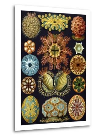 Illustration of Ascidiacea by Ernst Haeckel--Metal Print