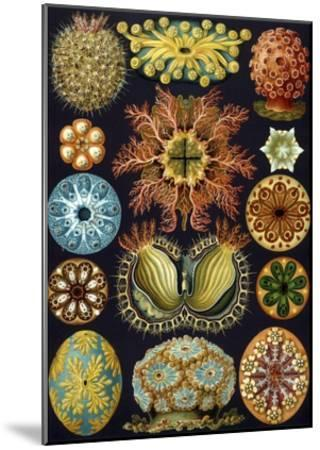 Illustration of Ascidiacea by Ernst Haeckel--Mounted Giclee Print
