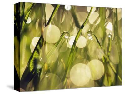 Leaves of grass with dew drops-Frank Krahmer-Stretched Canvas Print