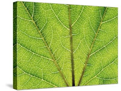 Veins in a grapevine leaf-Frank Krahmer-Stretched Canvas Print