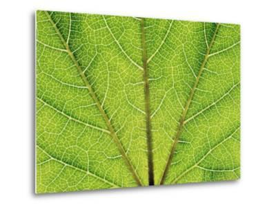 Veins in a grapevine leaf-Frank Krahmer-Metal Print