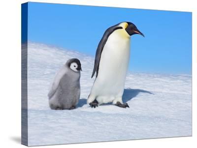 Emperor penguins-Frank Krahmer-Stretched Canvas Print