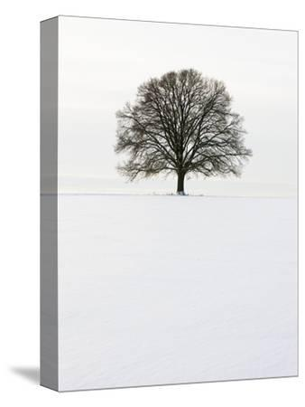 Old oak tree on a field in winter-Frank Lukasseck-Stretched Canvas Print