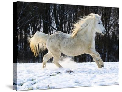 Elderly Welsh-Arab pony running on snow covered meadow-Frank Lukasseck-Stretched Canvas Print
