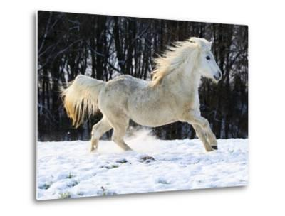 Elderly Welsh-Arab pony running on snow covered meadow-Frank Lukasseck-Metal Print