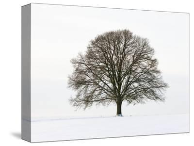 Old oak tree on a field in snow-Frank Lukasseck-Stretched Canvas Print